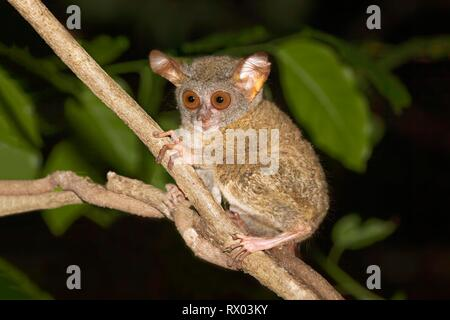 Sulawesi-Tarsier (Tarsius tarsier) sits on branch, endemic, island Selayar, South Sulawesi, Indonesia - Stock Photo