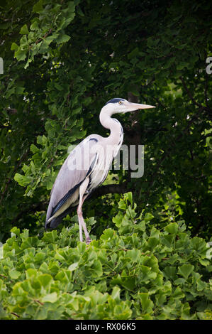 Grey Heron in St James's Park, London, England, UK - Stock Photo