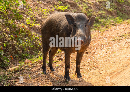 Wild boar. Yala National Park. Sri Lanka. - Stock Photo