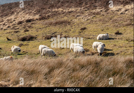 Exmoor National Park, Somerset, England, UK. March 2019. Sheep grazing on open land of Exmoor close to Simonsbath a hamlet in this national park. - Stock Photo