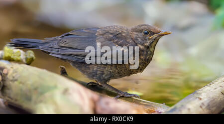 Large photo of young Common blackbird near a waterpond - Stock Photo
