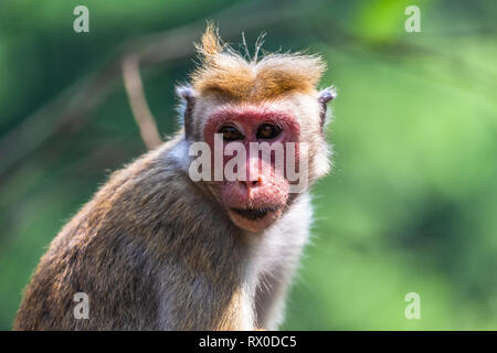 Macaque. Yala National Park. Sri Lanka. - Stock Photo