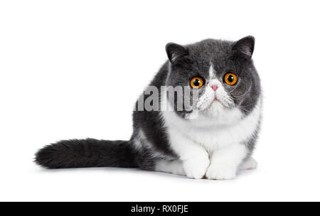 Cute blue with white young Exotic Shorthair cat, sitting facing front, head low and paw in air. Looking straight into lens with amazing round orange e - Stock Photo