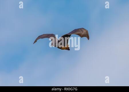 Fruit bat trees (Flying fox). Tissamaharama, Sri Lanka. - Stock Photo