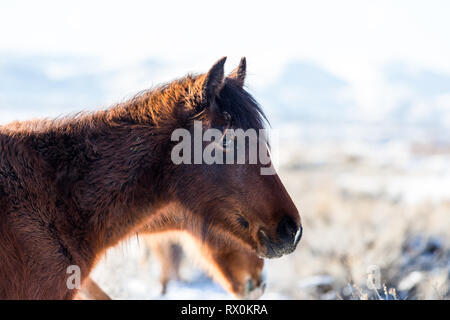 Backlit horse in the nevada desert in the snow - Stock Photo