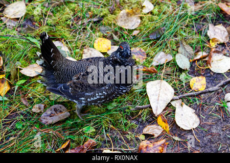 PHOTO: 42,642.06622 -- male Spruce Grouse (Falcipennis canadensis) Upland Game Bird Phasianidae, fall leaves on ground, close up, gray & black - Stock Photo