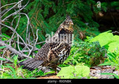 43,262.01258 -- Close up alert Ruffed Grouse hen forest edge, Bonasa umbellus, upland game bird Phasianidae, puffed up neck feathers, looking sideways - Stock Photo