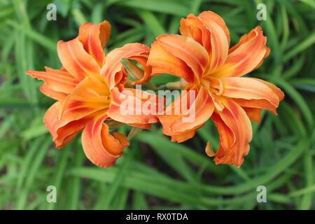 Hemerocallis fulva 'Kwanso'- Dormant, Double Blooming Orange Daylily - Stock Photo
