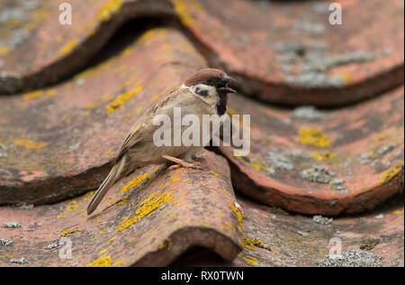 Tree Sparrow, Passer montanus, single adult singing on roof. Taken June,  Bempton, Yorkshire, UK. - Stock Photo