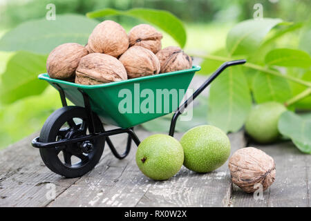 Small garden wheelbarrow full of walnuts, green nuts and leaves in garden outdoors. - Stock Photo