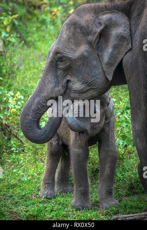 Deep inside Uda Walawe National Park in the Southern Province of Sri Lanka, a playful baby Elephant learns from another member of the herd. - Stock Photo