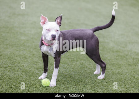 Blue-eyed female puppy American Pit Bull Terrier Playing with a tennis ball. - Stock Photo