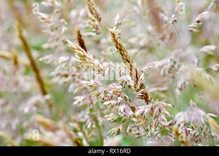 Grass, predominantly Yorkshire Fog (holcus lanatus), shot in flower with low depth of field. - Stock Photo