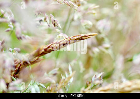 Grass, predominantly Yorkshire Fog (holcus lanatus), shot before flowering with low depth of field. - Stock Photo