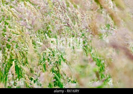 Grass, predominantly Yorkshire Fog (holcus lanatus), shot as it flowers. - Stock Photo