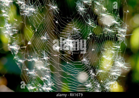 Close up of a back-lit spider's web covered in seeds released from Rosebay Willowherb (epilobium angustifolium). - Stock Photo
