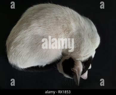 White cat sleeps curled in a circle on a black background. - Stock Photo