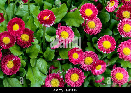 Red and yellow zinnia flowers bloom in a summer garden - Stock Photo