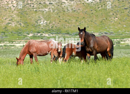 Family of Nevada wild Mustang horses in a green field. - Stock Photo