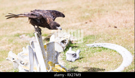 A Striated Caracara (Phalcoboenus australis) alights atop a whale skeleton on a beach on Saunders Island, Falkland Islands. - Stock Photo