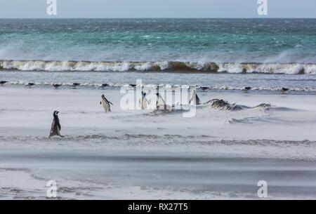 Magellanic Penguins (Spheniscus magellanicus) and Kelp Gulls share a windswept sandy beach on Saunders Island.  Falkland Islands, South America - Stock Photo