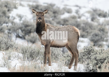 Elk (Cervus elaphus) on a snowy slope on the Columbia Blacktail Plateau. at Yellowstone National Park,Mammoth Hot Springs,Wyoming,USA on January 22 .  - Stock Photo