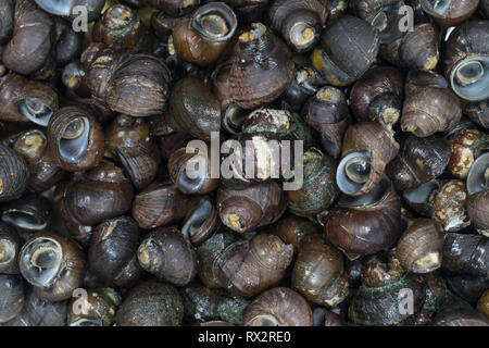 Top view close up river snail in the market. - Stock Photo