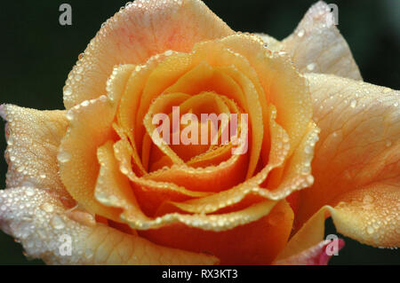 an orange rose in the morning dew - Stock Photo