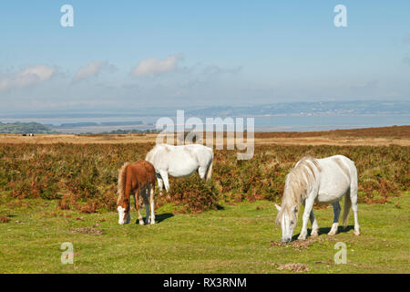 Welsh ponies, mares and foal, on Cefn Bryn, Gower Peninsula, Swansea, South Wales, UK - Stock Photo