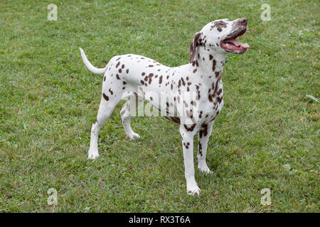Cute dalmatian puppy is standing in a green grass. Pet animals. Purebred dog. - Stock Photo
