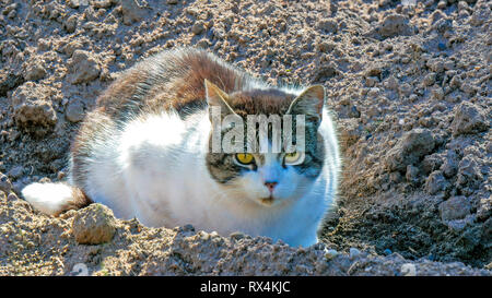 Big fat cat on the soil. The white with gray cat is lying on the soil and looking closely to something - Stock Photo