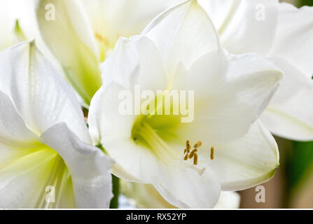 botany, white amaryllis blossom, Caution! For Greetingcard-Use / Postcard-Use In German Speaking Countries Certain Restrictions May Apply - Stock Photo