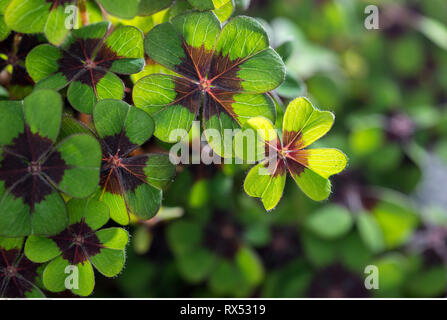botany, lucky clover, Caution! For Greetingcard-Use / Postcard-Use In German Speaking Countries Certain Restrictions May Apply - Stock Photo
