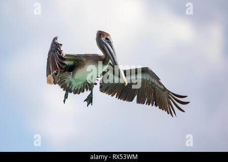 Ein Pelikan fliegt mit ausbreiteten Fluegeln, Foto: Mario Hommes - Stock Photo