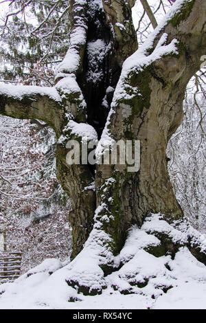Märchenwald Märchenhafter Winterwald mit alten knorrigen Buchen-Bäumen im Hutewald Halloh im Nationalpark Kellerwald - Stock Photo