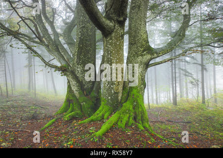 botany, beech forest in autumn, Switzerland, Additional-Rights-Clearance-Info-Not-Available - Stock Photo