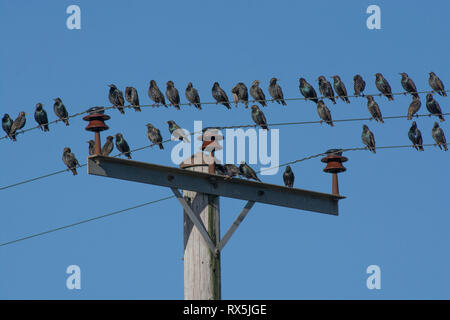 Common starlings / European starling, Sturnus vulgaris, flock congregating on telephone wire, Lancashire, UK - Stock Photo