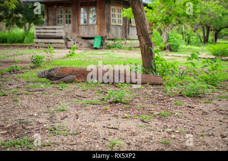 Komodo Dragon on the Indonesian island of Komodo. It's the largest living species of lizard, they have a venomous glands and can run up to 20km/h. - Stock Photo