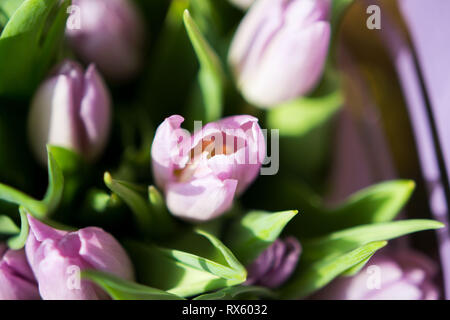 Beautiful bouquet of many small lavender tulips Tulipa for celebration. - Stock Photo