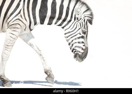 A High Key image of a Zebra - Stock Photo