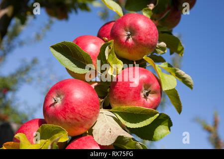 Apples on the tree, Lower Saxony, Germany, Additional-Rights-Clearance-Info-Not-Available - Stock Photo