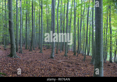 botany, beech (Fagus sylvatica), beech forest in the national park Harz Mountains of exposition des au, Additional-Rights-Clearance-Info-Not-Available - Stock Photo