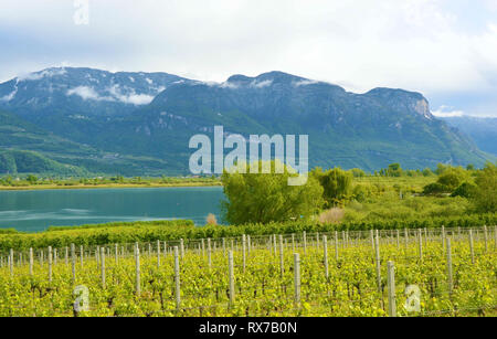 Lake Caldaro Vineyard, Kalterer see. Grape plantation near Caldaro Lake in Bolzano, South Tyrol, Italy. - Stock Photo