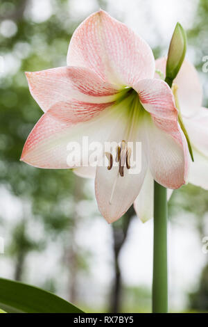 close-up shot of pink and White Asian Lily(Lilium) in suburban garden, Pointe Claire, Quebec