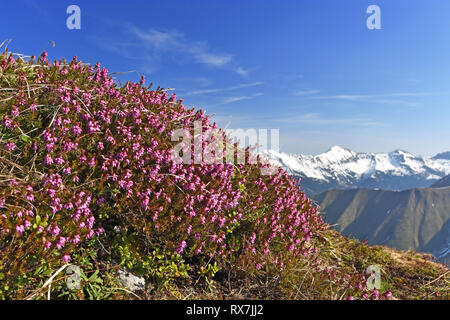Shrub of Erica Carnea (winter heath, winter flowering heather, spring heath, alpine heath) in the Tyrolean Alps, Austria. Selective focus - Stock Photo