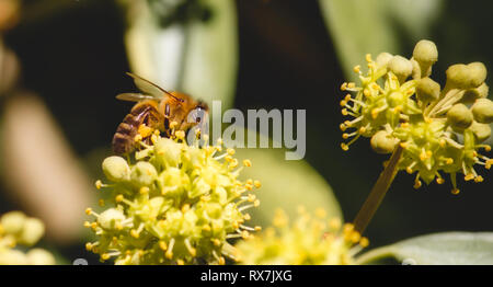 Close-up of European honey bee (Apis Mellifera) sitting on a flower in the wild collecting pollen - Stock Photo