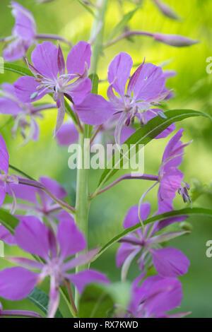 Rosebay Willow, Chamaenerion angustifolium, Thornden Woods, Kent, UK, RSPB Reserve, purple flower - Stock Photo