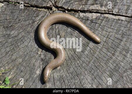 Slowworm, Anguis fragilis, basking in sunshine to get warm, Monkton Nature Reserve, Kent UK,legless lizard - Stock Photo