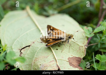 Silver Spotted Skipper Butterfly, Hesperia comma, Queensdown Warren, Kent Wildlife Trust, UK, small resting on leaf on ground - Stock Photo