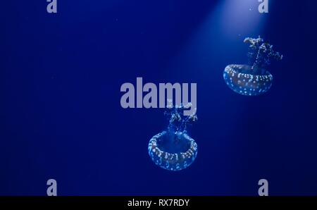 A pair of white spotted jellyfish floating in blue water with a spotlight shining down from above - Stock Photo